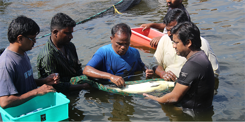 Non invasive sampling of gonads of milkfish broodstock at CIBA, Muttukadu – a skilled expertise in captive breeding of milkfish
