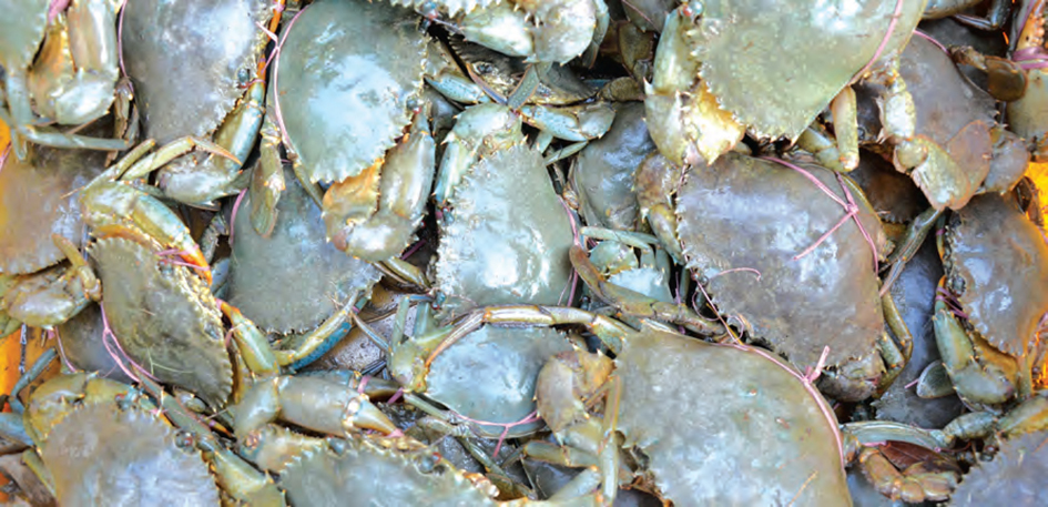 Farm reared mud crab, Scylla serrta: a potential candidate for lucrative brackishwater farming