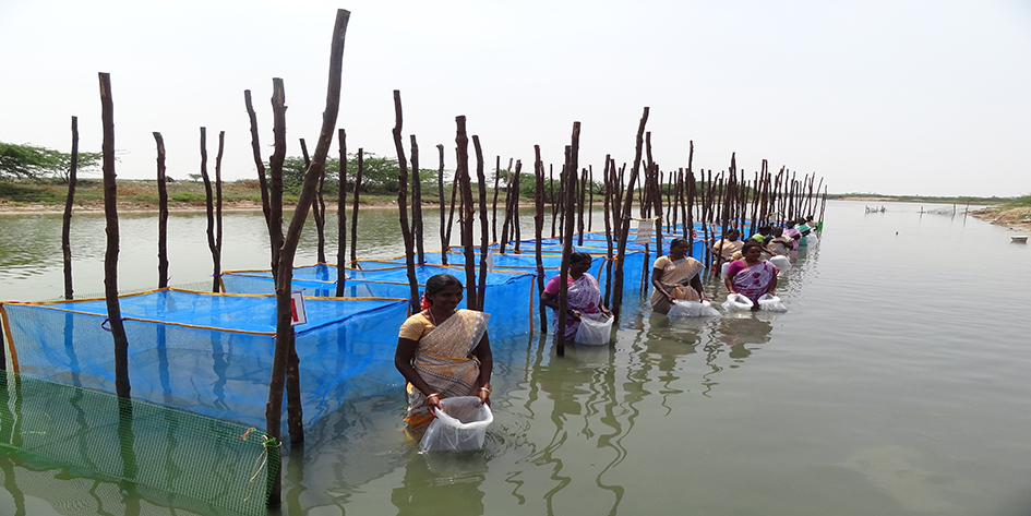 Nurserry rearing of seabass fry in hapas with active participation of women farmers at Pazhaverkadu, Tamil Nadu